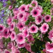Trailing petunia in a hanging basket. — Foto Stock
