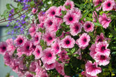 Trailing petunia in a hanging basket. — Stock Photo