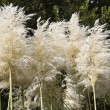 Pampas grass. — Stock Photo #14005783