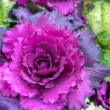 Stock Photo: Ornamental cabbage