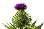 Cardo flowerhead. — Fotografia Stock