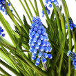 Blue spring flowers — Stock Photo #18672791