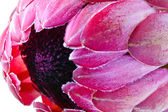 Pink protea — Stock Photo