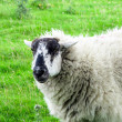 Black-faced sheep. — Stockfoto