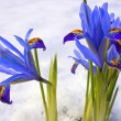 Blue flowers in a snowy garden. — Stock Photo