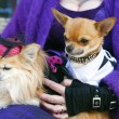 Two chihuahua dogs. — Stock Photo