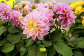 Pink dahlias. — Stock Photo