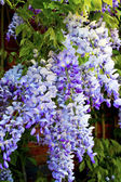 Wisteria flowers. — Stock Photo