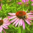 Echinacea flowers. — Stock Photo