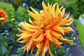 Orange dahlia flower. — Stock Photo