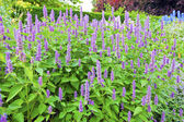 Blue tall flowers in a herbaceous border. — Stock Photo