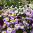 Pink and white daisies also purple alliums in garden. — Stock Photo #38352617