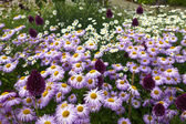 Pink and white daisies also purple alliums in a garden. — Stock Photo