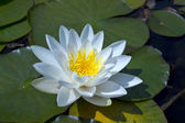 White waterlily in a pond. — Stock Photo