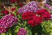 Sweet William dianthus in a garden. — Zdjęcie stockowe