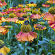 Stock Photo: Perennial cone flowers in garden.