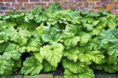 Rhubarb in a vegetable garden. — Stock Photo