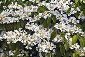 White flowering shrub. — Stock Photo