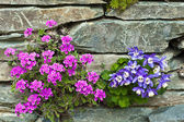 Rockery with pink and blue alpine flowers. — Stock Photo
