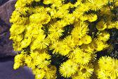 Zlatý lamparanthus květiny. — Stock fotografie