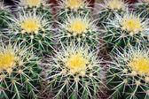 Cactus plants. — Stock Photo