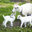 Goats in pasture — Stock Photo #39113669