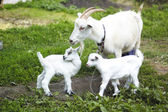 Goats in pasture — Stock Photo