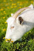 Goats in pasture — Stockfoto