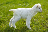 baby goat in pasture — Photo