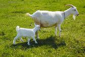 Cabras no pasto — Foto Stock