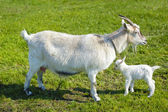 Goat and baby goat  — Stock Photo
