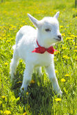 Young baby goat with red bow-knot  — Stock Photo