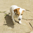Jack Russell dog playing in the garden — Stock Photo