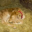 A young hairy cow calf sleeping — Stock Photo