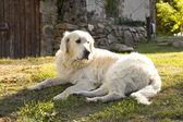 Golden retriever dog in the garden — Stock fotografie