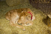 A young hairy cow calf sleeping — Stock fotografie