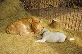 Un cane e un vitello insieme — Foto Stock