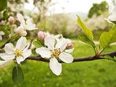 White cherry flowers — Stock Photo