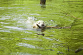 Golden retriever in the water — Stock Photo