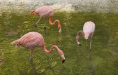 Pink flamingos — Stock Photo