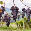 Merlot grapes on the vine — Stock Photo #13737268