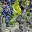 Merlot grapes on the vine — Stock Photo