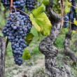 Stock Photo: Merlot grapes on vine