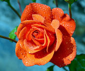 Red rose with drops — Stock Photo