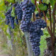 Merlot grapes on the vine — Stock Photo #14373797