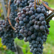 Merlot grapes on the vine - Stockfoto