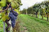 Merlot hrozny na vinici — Stock fotografie