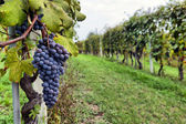 Merlots sur la vigne — Photo