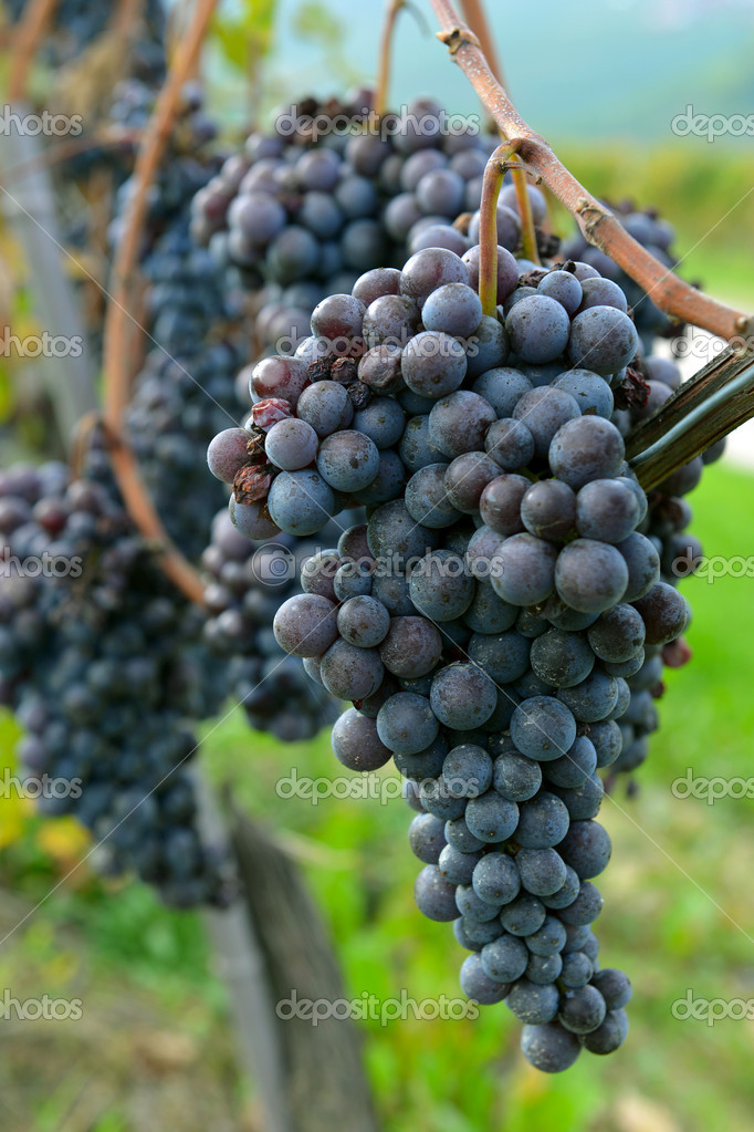 Merlot grapes on the vine — Stock Photo #14374283