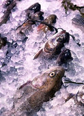 Trout in the ice — Stock Photo